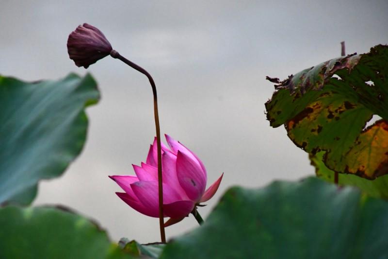 紫薇/秋荷