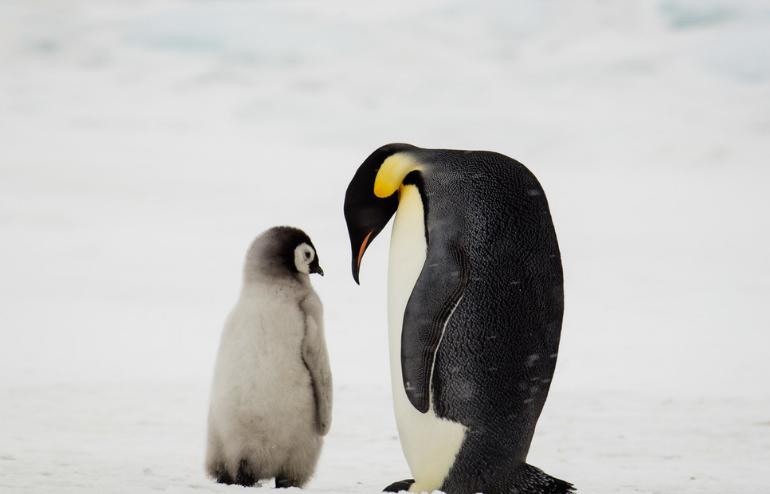 """小""""心机""""企鹅娃挤爸妈怀里取暖"""