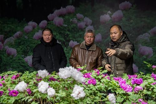 """山西省牡丹园""""首届迎新春牡丹鲜花展""""完美收官"""