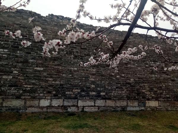 墙头柳色千般翠 雨里梅花分外娇——明城墙遗址公园