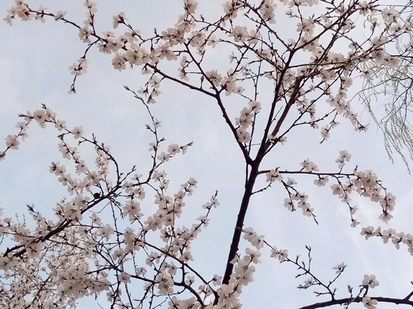 树树山桃开  处处烟霞来——李月手机拍图
