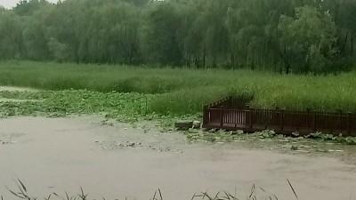 南海子公园雨中访荷