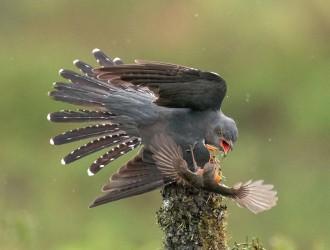 摄影师拍知更鸟大战杜鹃鸟 交互攻防精彩连连
