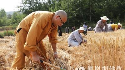 又是一年丰收季!嵩山少林寺僧众挥镰收割小麦