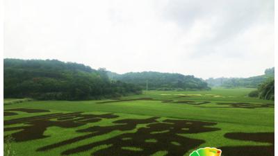 """重庆忠县:山城里的""""橘乡荷海"""""""