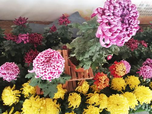体验第十一届平谷·西柏店菊花美食文化节