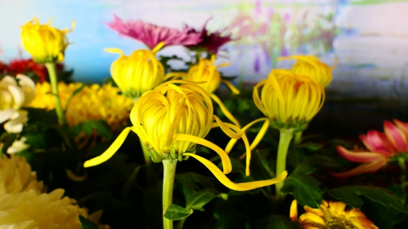 摄影:大美秋菊——平谷·西柏店菊花美食文化节的菊花