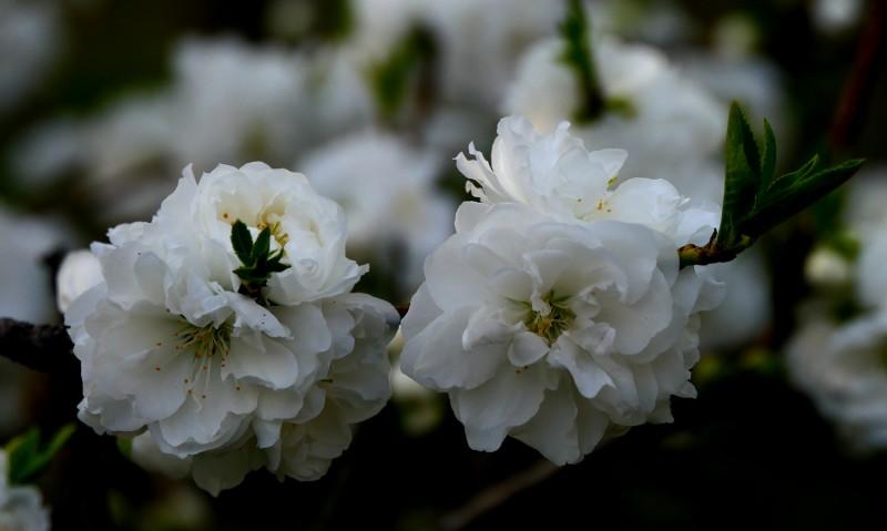 靳新国摄影: 桃花春色暖先开,明媚谁人不看来