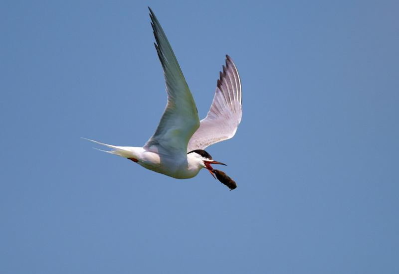 朱香顺镜头记录.燕鸥:鸟类飞远冠军
