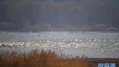 冬季到黄河赏天鹅