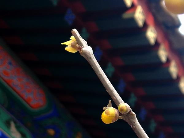 卧佛寺的蜡梅——李月手机拍图