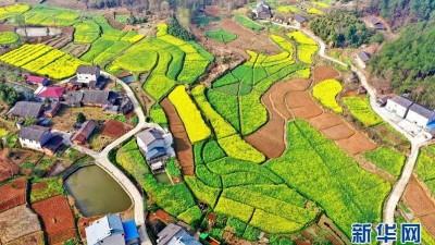 湖北宜昌:油菜花开 瞰春如画