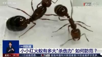 红火蚁入侵12省份,被咬伤后严重者会死亡!专家:遇到快跑