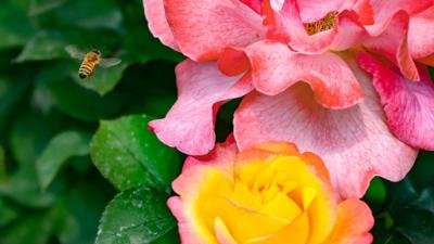 月季盛开时!关于赏花,这些信息值得关注