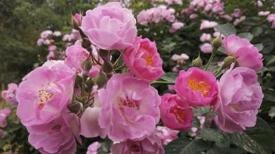李月手机拍图——五月的那些花儿