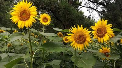 奥森公园百母向日葵开了