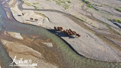 新疆博州:迁徙中的骆群